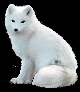 Arctic fox Maltese dog