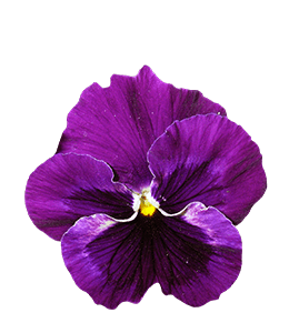 Beautiful Purple Pansy Flower