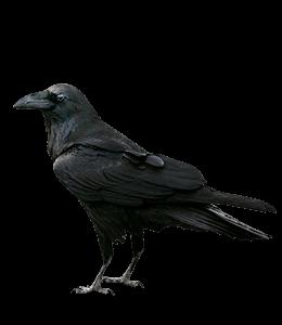 Black Raven Crow