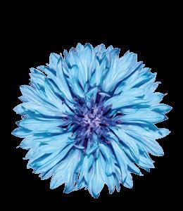 Blue and Purple Cornflower