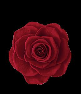 Burgundy Red Rose