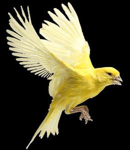 Canary bird flying