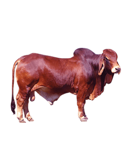 Cattle Ox - Animal