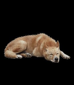 Coated tan dog