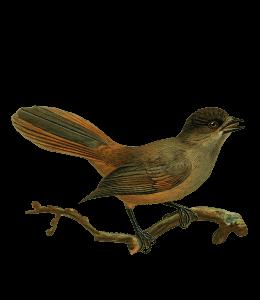 Common nightingale bird