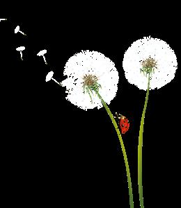 Dandelions on air