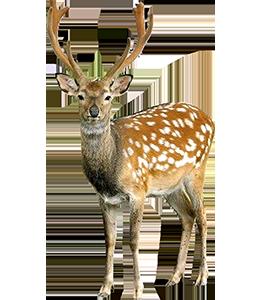 Deer - BA8759