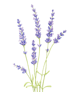 English lavender Watercolor painting