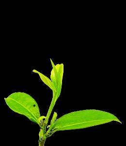 Fresh Leaf Bud