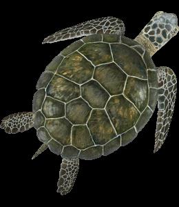 Green colored sea turtle