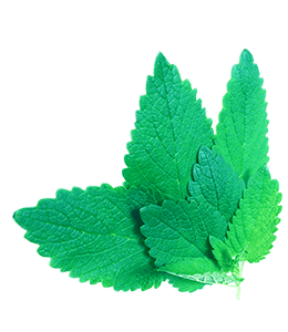 Herb Mint leaf