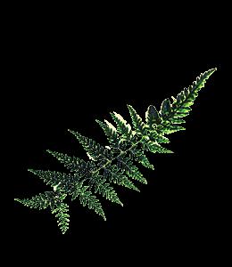 Horsetails Leaf