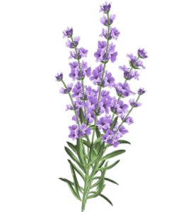 Lavender plant with flower