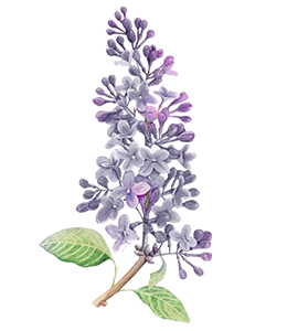 Lilac Flower Watercolor painting