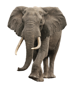 Male elephant with tusks
