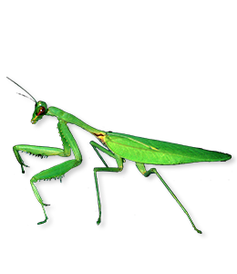 Mantis - Green Insect