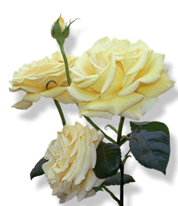 Pale yellow rose flower