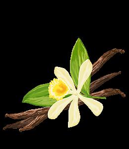 Pale yellow vanilla orchid