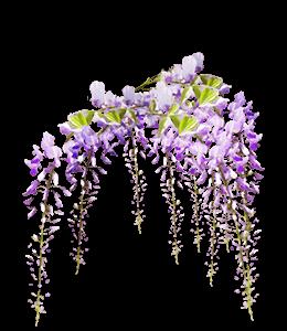 Purple Wisteria Flowers