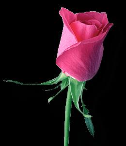 Red-pink rose flower bud