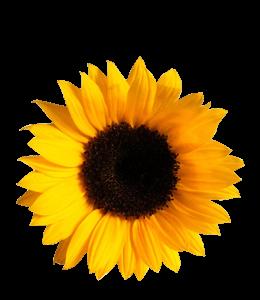 Single sunflower