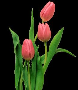 Tulip Flower and Stem
