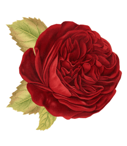Burgundy-Red rose