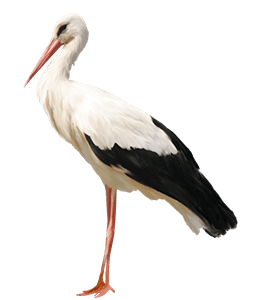 White and Black Stork Bird