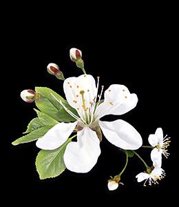 White Spring Tree Flower