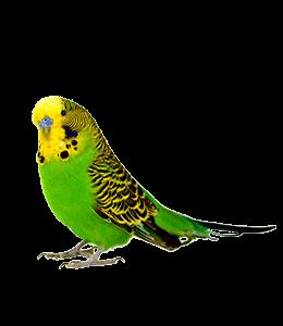 Yellow-green parakeet